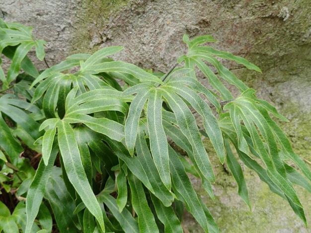 圖1.槭葉石葦,台灣特有種,分佈中海拔地區,主要附生於岩壁、樹幹或地面零星生長。