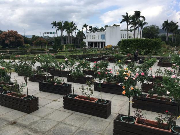 圖3.數量眾多的樹玫瑰。