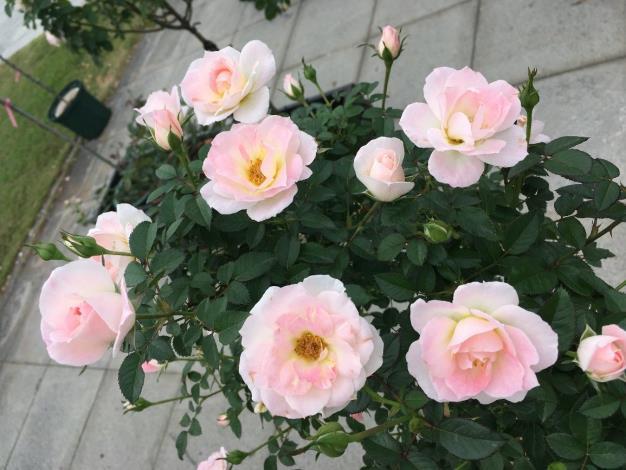 圖4.白桃妖精White Peach Ovation