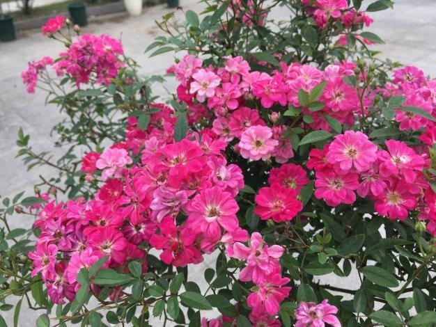 """圖6.花朵迷你的""""紅蓮""""。"""