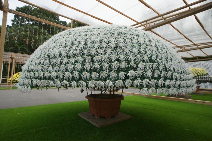圖1. 今年度最多朵的大立菊'白鶴'