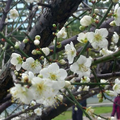 圖1梅花經常三蕾齊開,並有五枚花瓣,擁有越冷花越開的特性
