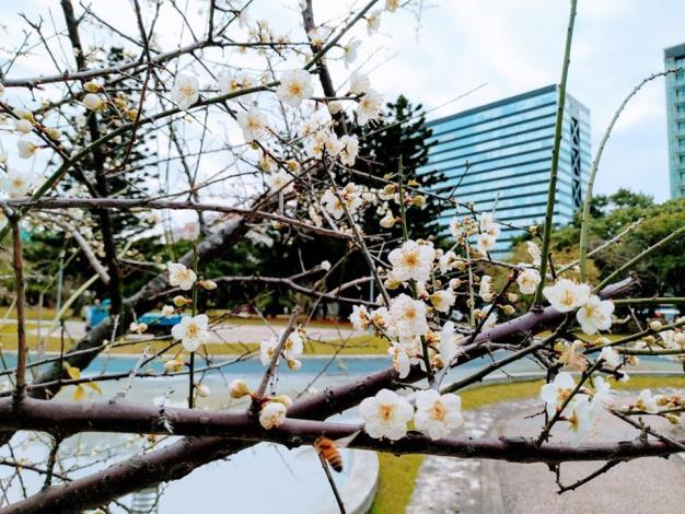 圖3. 園內老梅樹花朵綻放,梅樹依偎水池旁,格外有一番風情