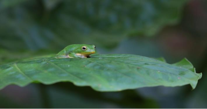圖二、台北樹蛙