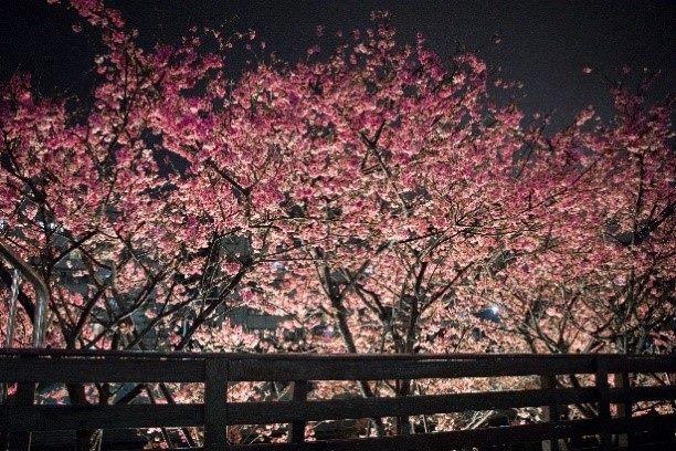 去年樂活夜櫻季櫻花盛開 (1)