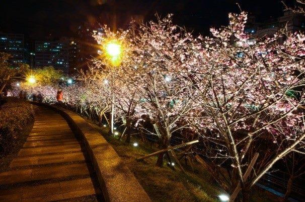 去年樂活夜櫻季櫻花盛開(2)