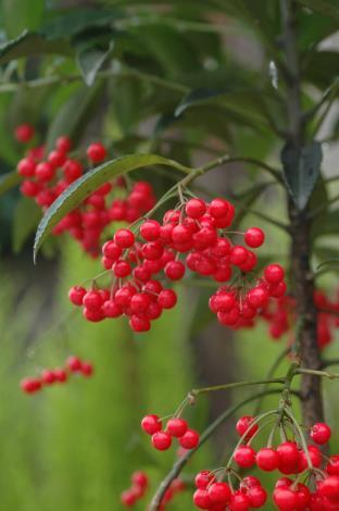 圖2 硃砂根又名萬兩金、黃金萬兩、富貴籽,是春節最喜氣的花卉。