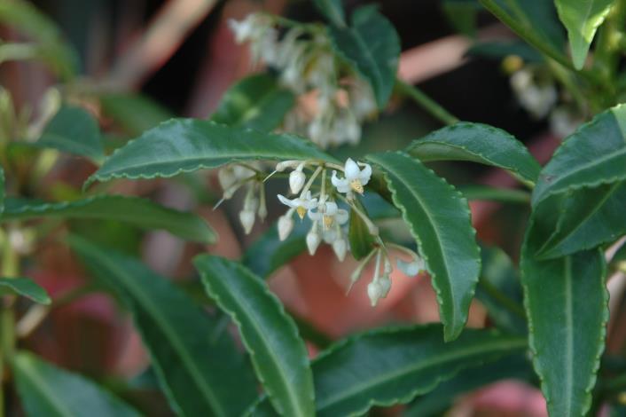 圖4繖形花序於側枝頂生。白色至粉紅色花下垂。