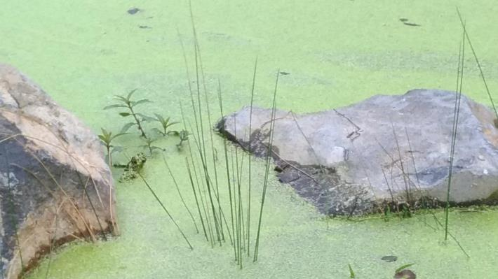 圖3.興隆公園生態池水韭