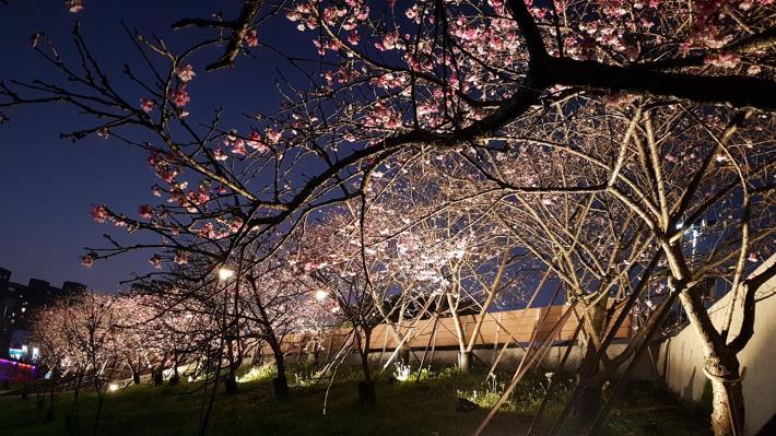 夜櫻現況照片