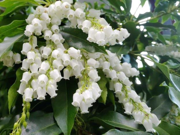 圖1馬醉木花朵就像白色小風鈴。