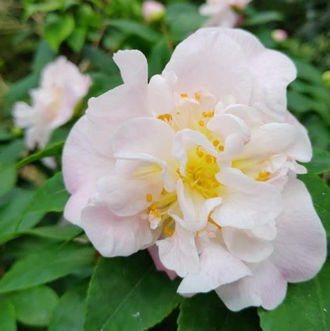 圖2天香茶花的半重瓣的牡丹花形,淺粉紅花色像少女的臉頰粉嫩。