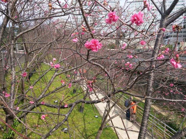 圖5.樂活八重櫻花綻放