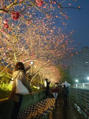 第二區八重櫻夜晚燈光投射