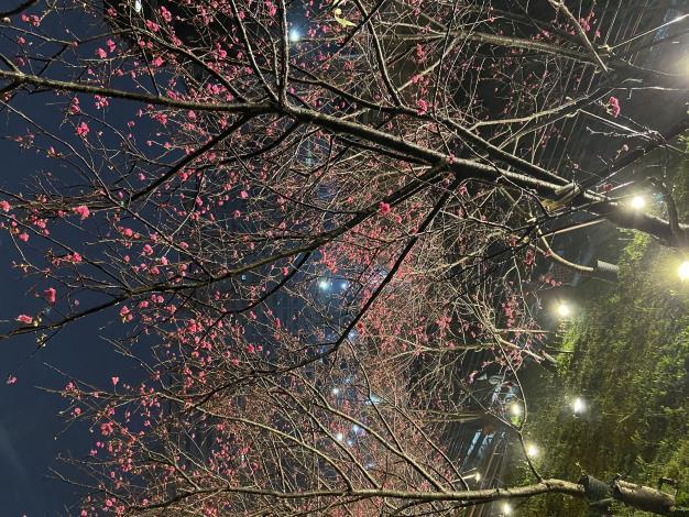 第二區八重櫻夜間景致