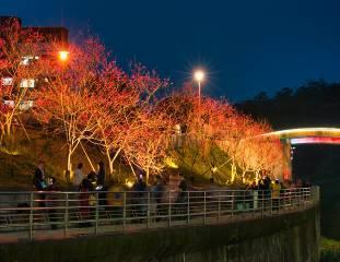 八重櫻櫻花林 (4)