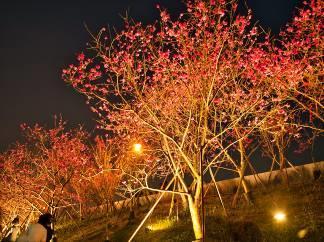 八重櫻櫻花林 (6)