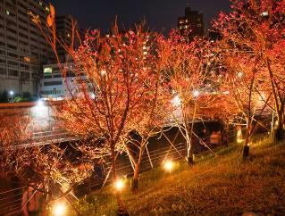 八重櫻櫻花林 (5)