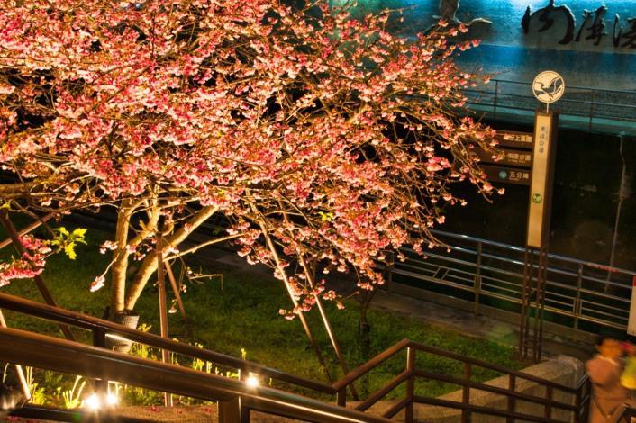 圖1樂活公園櫻花林
