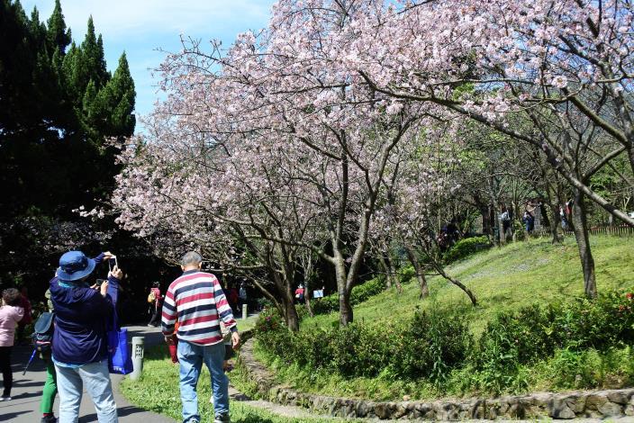 遊客中心前的吉野櫻共3張照片