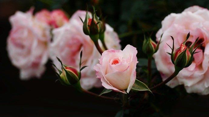 圖5.臺北玫瑰園珍藏850種世界各地品種的玫瑰爭奇鬥艷