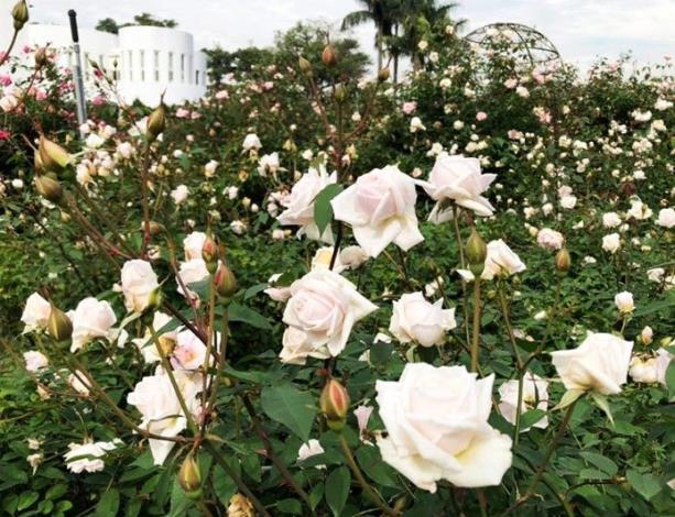 圖2  玫瑰白花搭配圓山所建築,春遊首選絕美拍攝景點