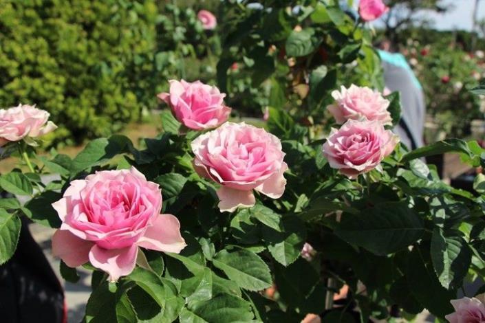 圖1  2020年玫瑰展 春季花展 玫瑰花香四溢