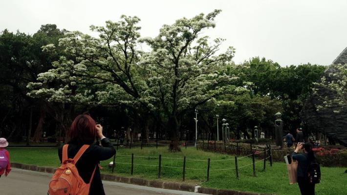 圖2.流蘇開花的迷人風采,民眾忍不住駐足拍照