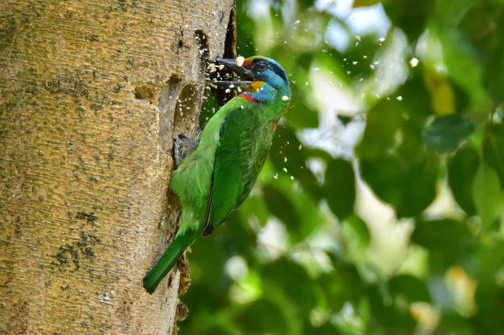 圖1.五色鳥在樹上啄洞築巢(周子欽理事長提供)