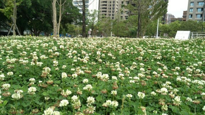 圖6.遍地三葉草開花