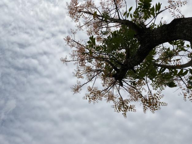 黃連木剛長出的羽狀複葉,在陽光下像是漣漪般一層層輻射向外展開