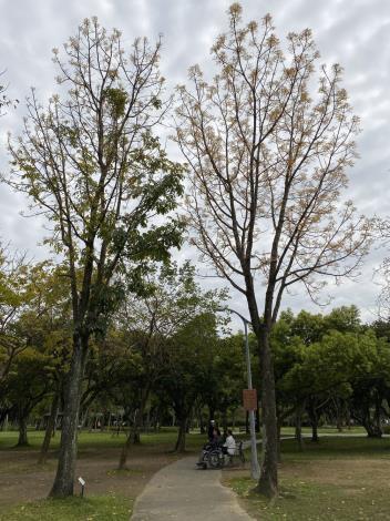 大葉桃花心木枝梢抽出幼嫩泛紅的新葉