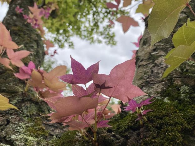 楓香嫩葉在轉成翠綠前是紫色的
