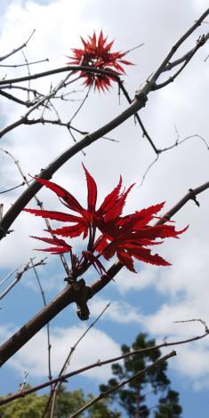 春天不只能賞花,樹梢剛萌發的嫩芽葉色也很迷人