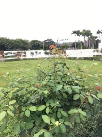 圖11 樹玫瑰特展區「摩妮光輝」已含苞待放。.JPG