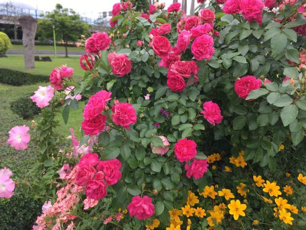 圖9 怡情園兩側花缽內迷你玫瑰「粉冰」正盛開。.JPG