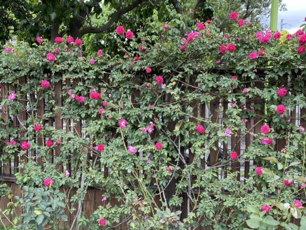 圖4 品種區內有中國古老品種「紫燕飛舞」,四季開花屬蔓性玫瑰。
