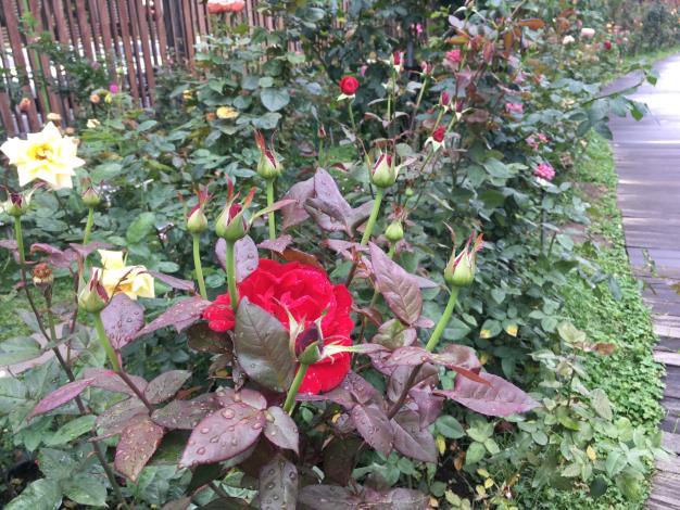 圖6 品種區「蜜妮」是火紅且香味濃厚、多為無刺的玫瑰,常用於製作玫瑰花果醬及酒釀。.JPG