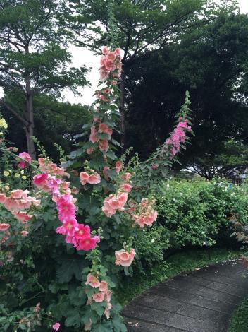 圖7 花海區種植比人還高的蜀葵。.JPG