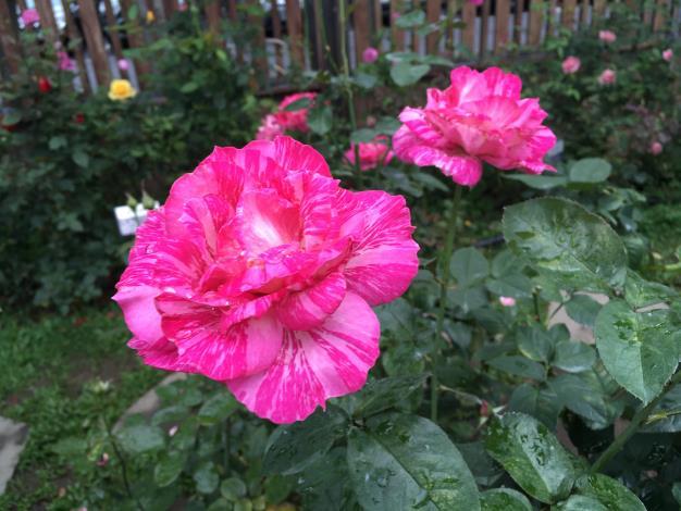 圖5 品種區「奇蹟」花瓣為桃紅白色絞紋,高心杯狀花型,特色是帶有強香。.JPG