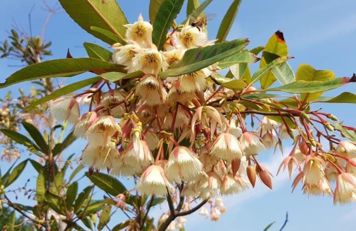 圖3水石榕清香的花朵引來蜜蜂採蜜。