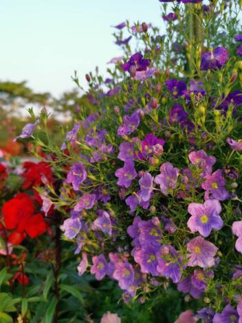 圖6 花海區懸垂的高盃花