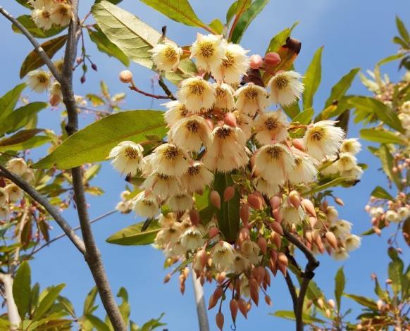 圖2新生園區靠近吉林路的廣場,水石榕綻放流蘇般的花瓣。