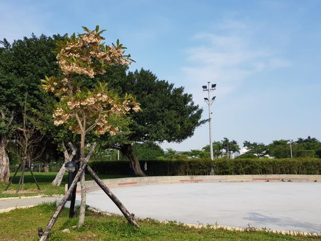 圖1新生園區靠近吉林路的廣場,水石榕綻放流蘇般的花瓣。