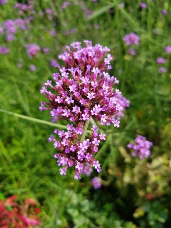 圖7柳葉馬鞭草對蜜蜂及蝴蝶十分具吸引力,是誘蜂及誘蝶的植物。