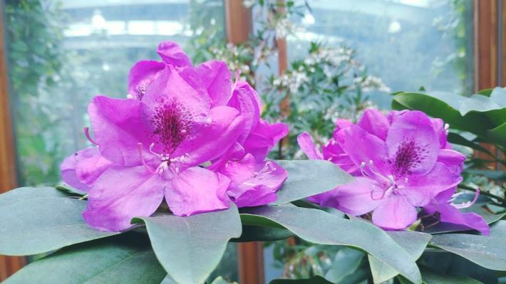 圖3石楠杜鵑宛若花簪的華麗花朵,因此被譽為「山之女王」。