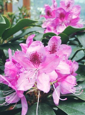 圖1石楠杜鵑好冷涼的習性,溫度超過30度時植株生長即受到抑制,超過35度時植株將遭受不同程度的熱害,在燠熱的臺灣平地很難長好。