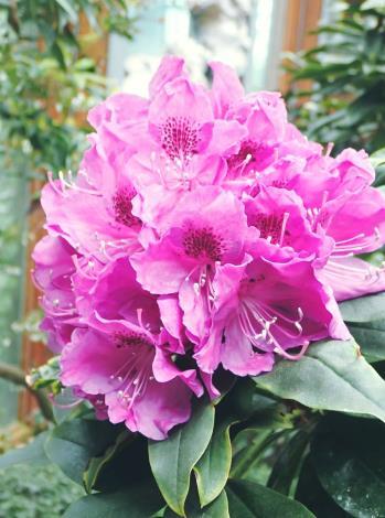 圖2石楠杜鵑花序大且圓整緊密,花團錦簇而色彩豐富,在花市非常吸睛。