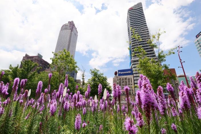 圖2.紫色麒麟菊與建築相輝映