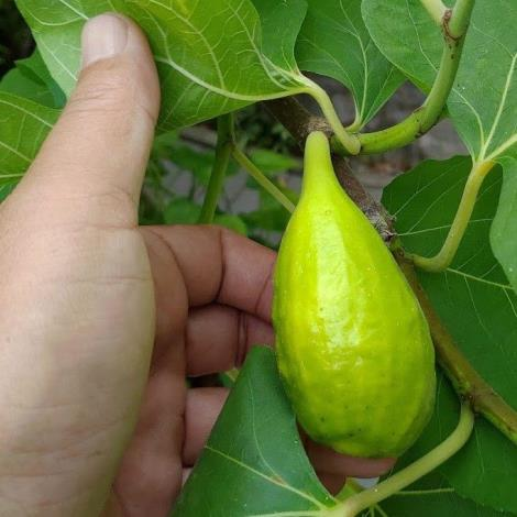 圖2無花果果實梨形或卵形,成熟紫色或黃色,直徑3~5cm。